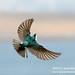 Tree Swallow in Flight