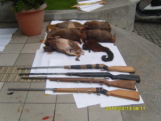 2010年3月13日台東林管處在太麻里溪查獲盜獵案,起出土製獵槍7支、山羌10隻、大赤鼯鼠1隻。(台東林管處新聞照片)