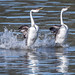 Dancing With the Grebes