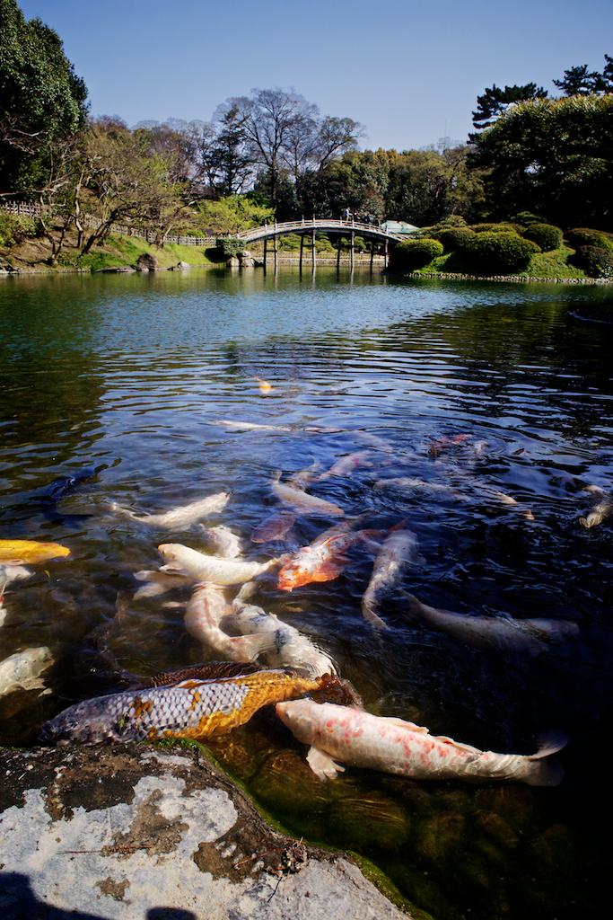 Koi fishes in front of engetsu kyo bridge in ritsurin koen for Koi pond quezon city