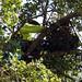 Cooper's Hawk nest replacement