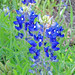Closeup View of Bluebonnets