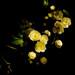 6. Banksia rose