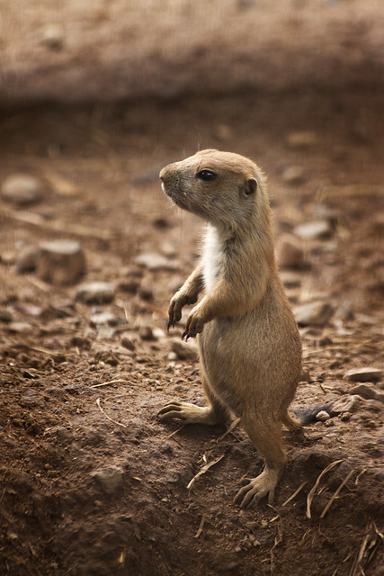 baby prairie dog. | Flickr - Photo Sharing!
