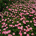 Raubritter at Keisei Rose Garden
