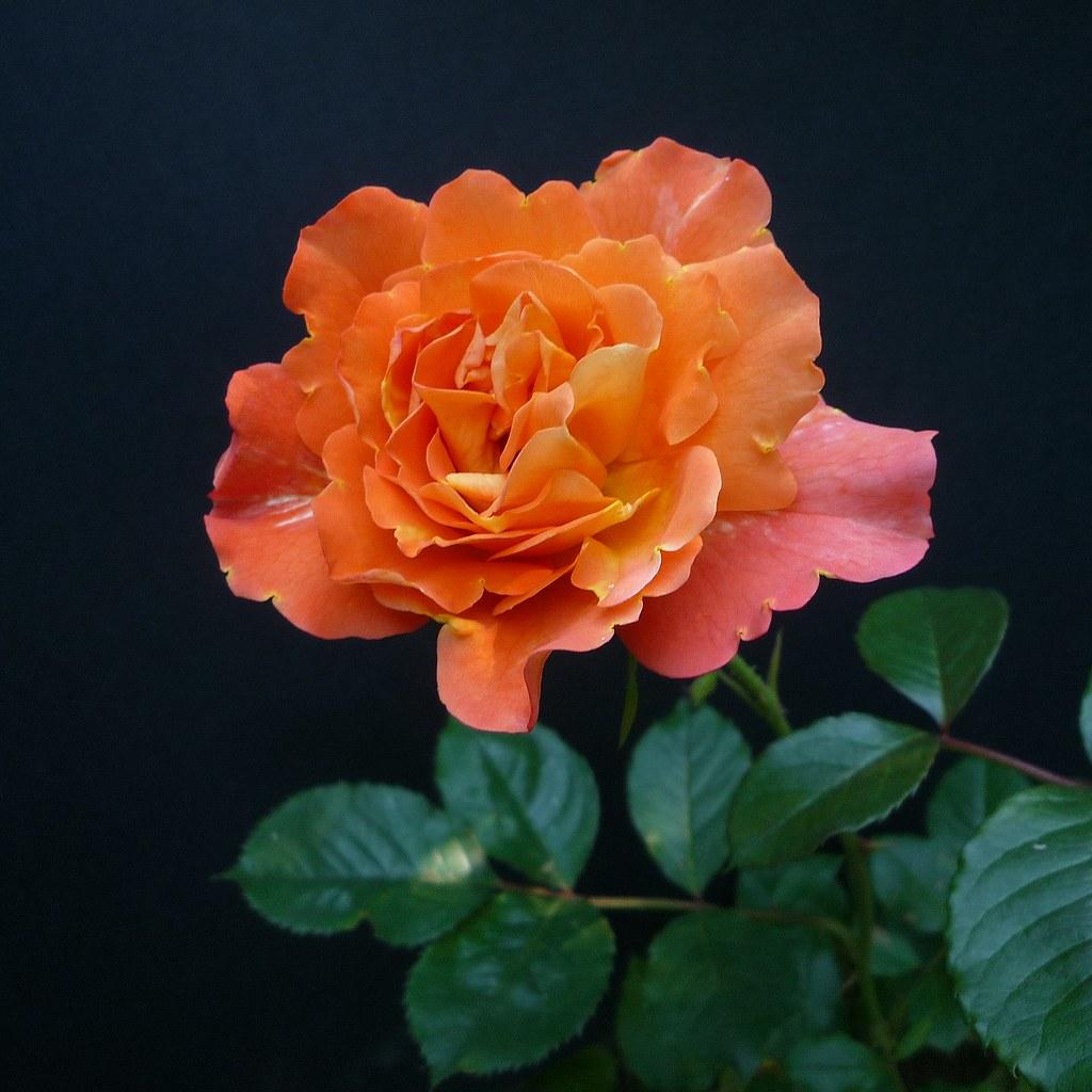 rosa westerland peltier patrick flickr. Black Bedroom Furniture Sets. Home Design Ideas