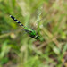 Eastern Pondhawk dragonflies (females, in flight)