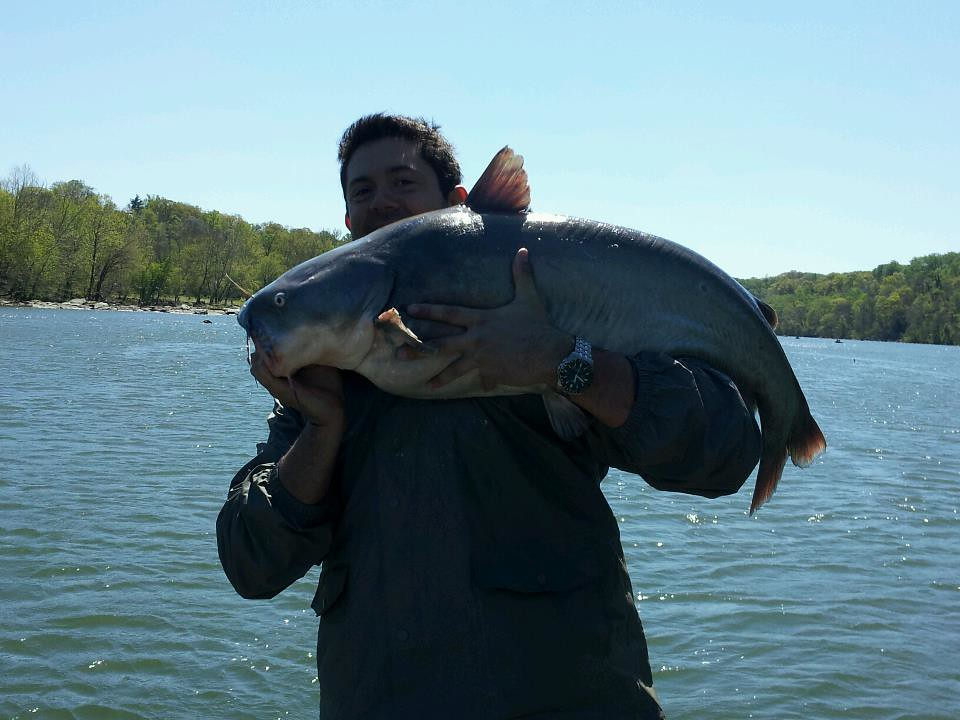 Blue catfish courtesy of brian cera maryland fisheries for Md dnr fishing report