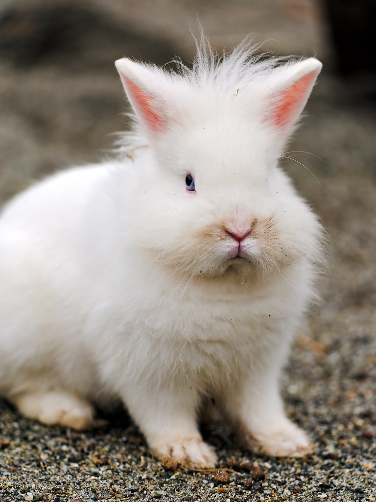 cba4d8fdc8ae The Angora rabbit – Journal Edge