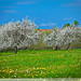Fruit trees blooming in Latvia