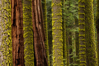 Sequoia Abstract | by DaveWilsonPhotography