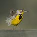 Western Meadowlark_2758.jpg