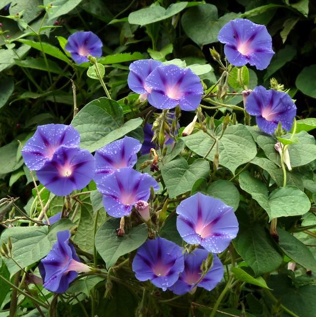 Flickr photo sharing for Ipomea purpurea