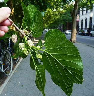 Mulberries | by GammaBlog