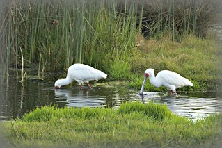 feeding spoonbills | by WITHIN the FRAME Photography(3.5 Million views tha