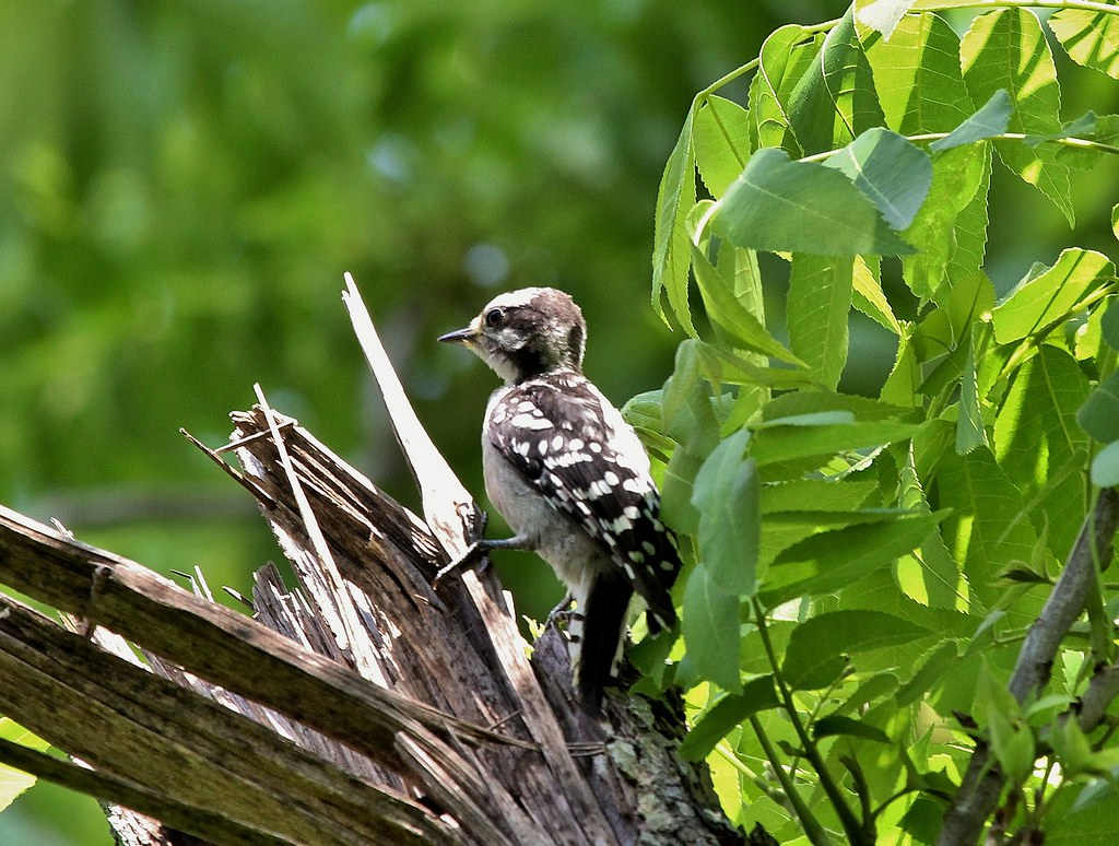 Downy Woodpecker Fledgling Downy Woodpecker Fledgling