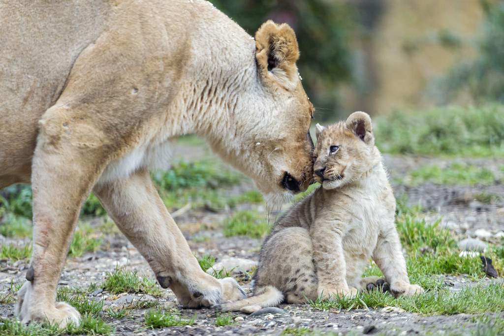 Lioness nuzzliong her ...