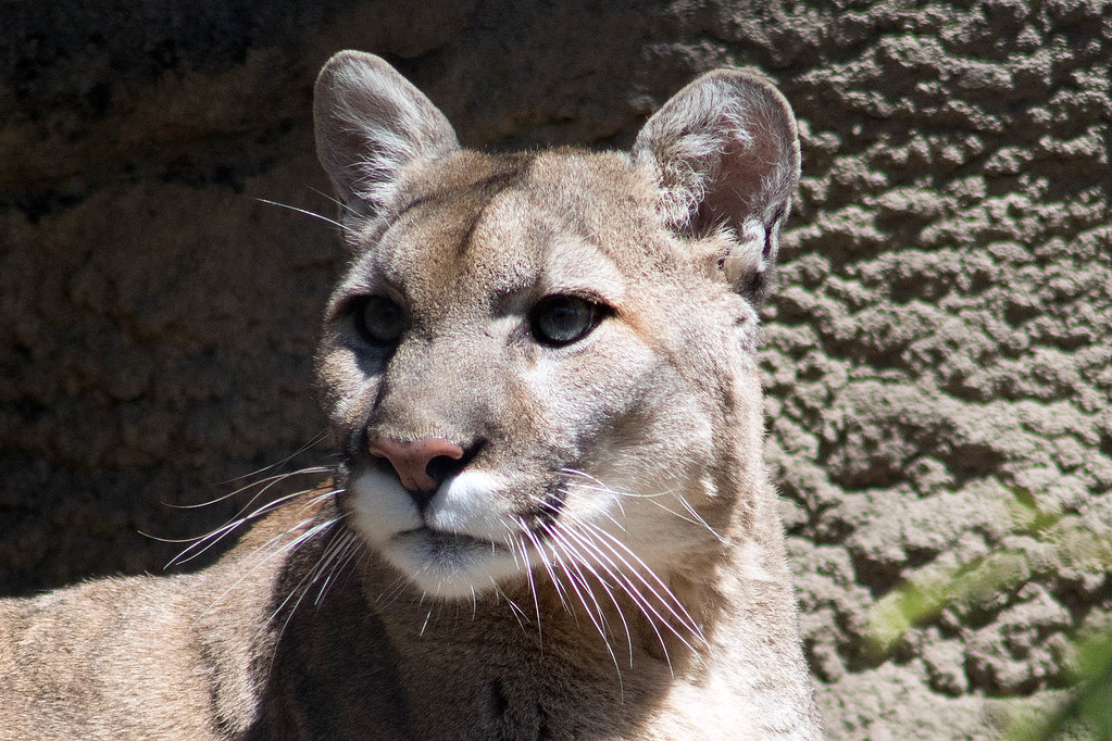 lincoln park cougar women While actual cougar sightings have increased, coyotes, bobcats and dogs are often mistaken for cougars a cougar can be identified by its large size, cat-like appearance, consistent tan or tawny body color, and long tail.