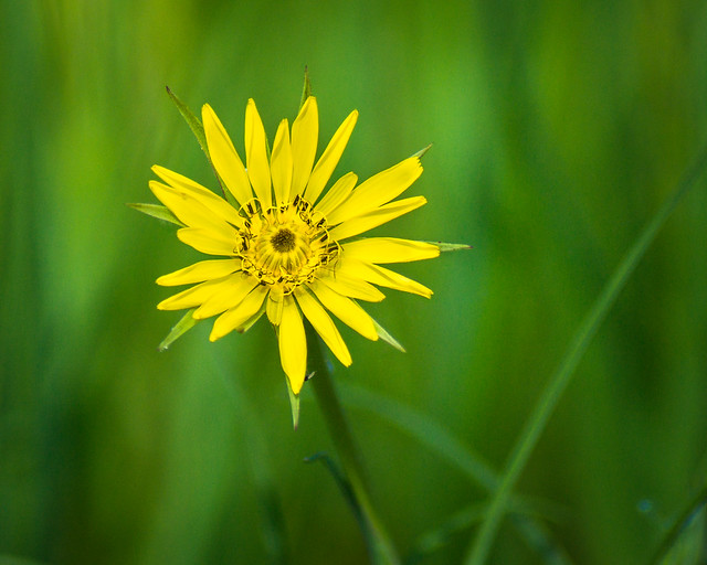 Wildflower, Yellow, Green, Macro