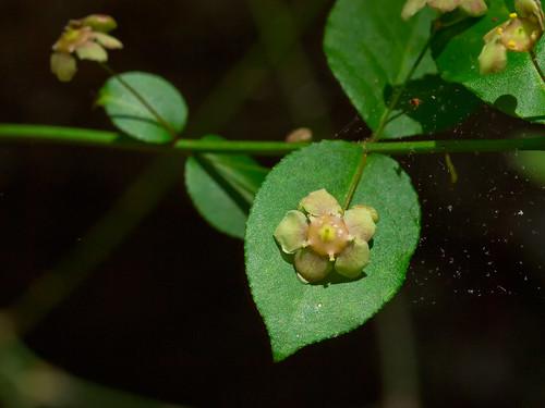 Euonymus americanus flowers