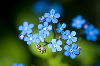 forget-me-not | by raspberrytart