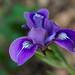 Wildflower - Douglas Iris