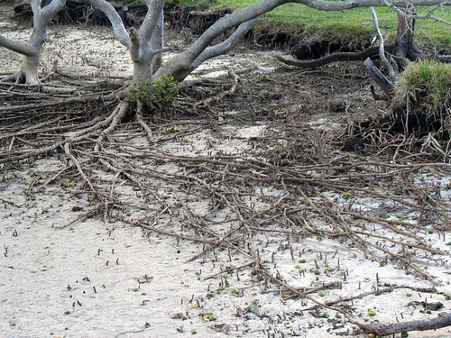 Mangrove roots | by Drop-dead-gorgeous1