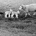 Lambs, Near Armoy