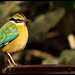 Indian Pitta - One of the Many