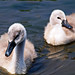 Cygnets, 6 weeks old