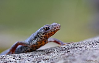 Triturus karelinii (Southern Crested Newt ) | by ganglionn
