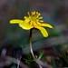 Ranunculus reconditus (Ranunculaceae); Obscure buttercup
