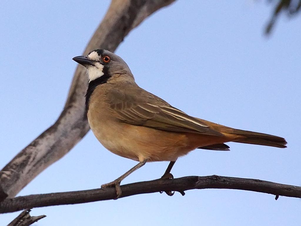 crested bellbird oreoica gutturalis gluepot reserve