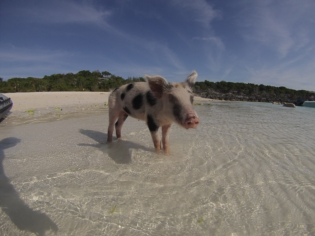 Swimming Pigs Big Major Cay Swimming With Pigs - Www imagez co