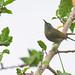 female Black-throated Sunbird