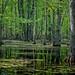 A swamp around Petticoat Creek, Rouge Valley, Toronto, May 2012 DSC2870