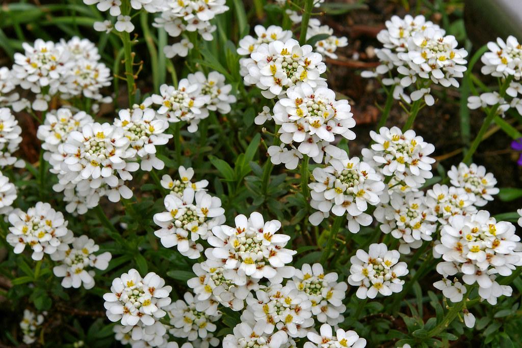 Fleurs du jardin th s e la romaine loir et cher flickr for Jardin romain