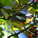 Magnolia Warbler In Holly