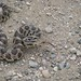 WRTG11M BK  2012-05-23 at 13-19-57 Bull snake
