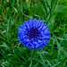 Fiordaliso: Centaurea cyanus
