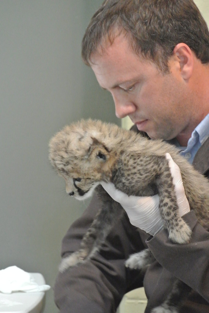 One-month-old cheetah cub   Cheetah cub with Cheetah ...