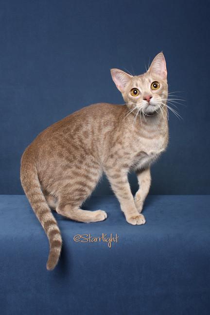 Оцикет, фото фотография породы кошек