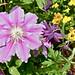 Blooming Clematis, Columbine, Pansies