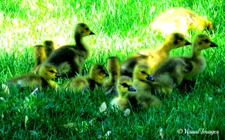 FIRST GOOSE BABIES SPOTTED THIS SPRING [EXPLORE 5/7/12] | by Visual Images1