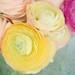 Ranunculus in vase (with texture)