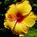 Yelow Hibiscus. Hibiscus amarillo.