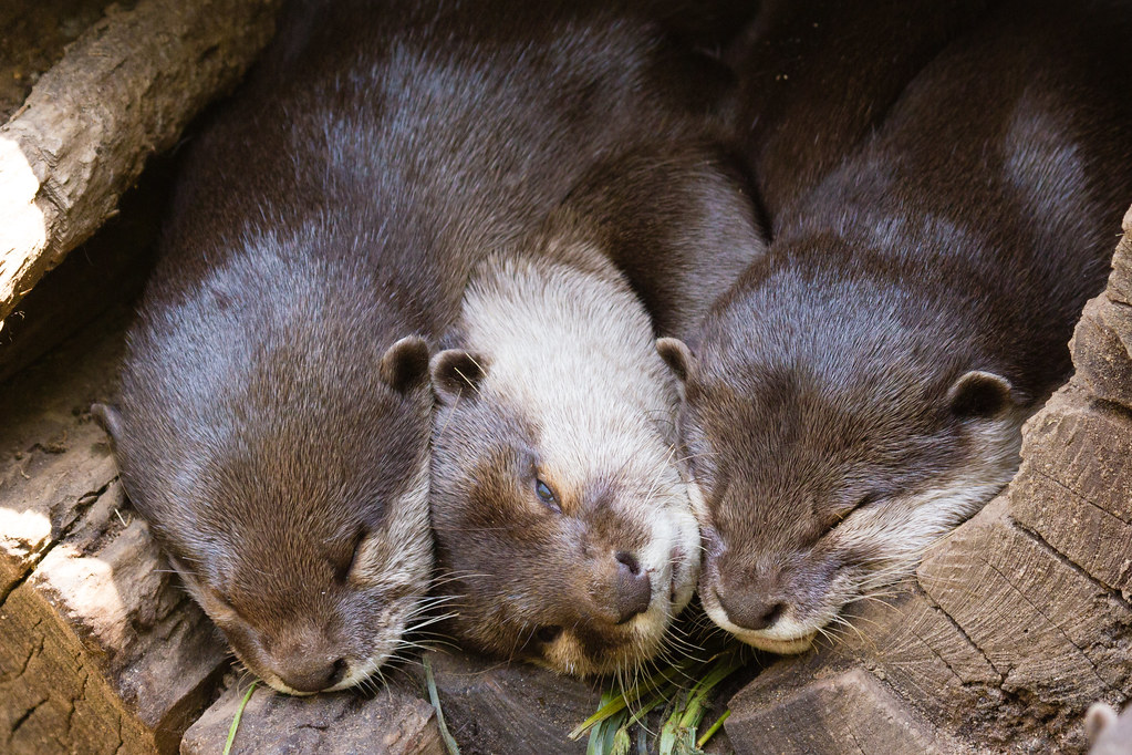 Asian Small-clawed Otter with Eye Open | Asian Small ...