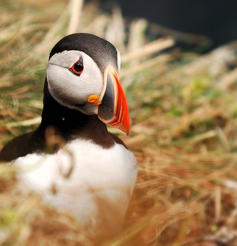 The Puffin | by Natureshots.JP