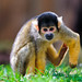 Squirrel monkey in a funny position
