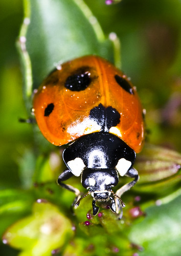 Ladybird1 | by Grant_R